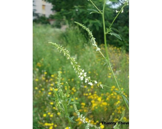 melilot-blanc-melilotus-albus-fleur