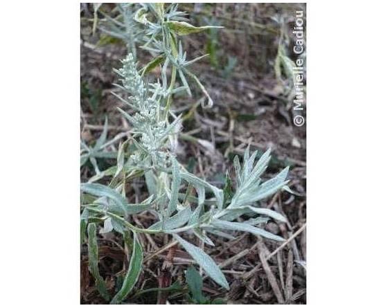 sauge-blanche-artemisia-ludoviciana-plante-feuilles-plant