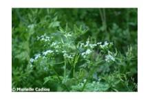 Cerfeuil cultivé (graines)