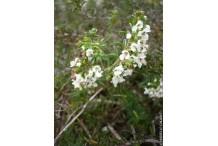 Sarriette rampante (plant)